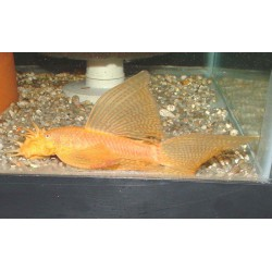 Ancistrus Gold Longfin