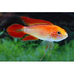Apistogramma agassizii Super Fire Red XXL
