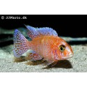 Aulonocara Sp. - Red Dragon - Firefish