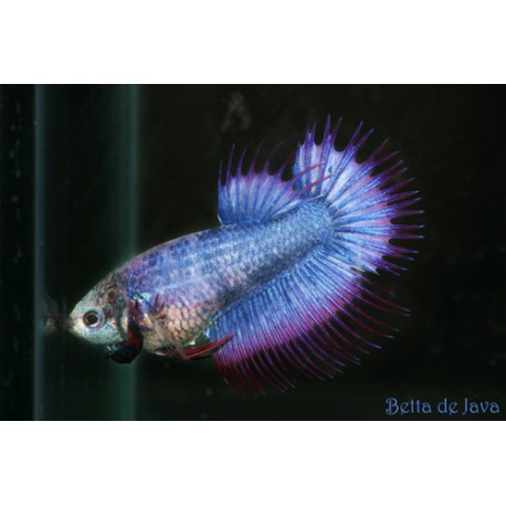 Betta Splendens crowntail hun