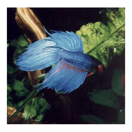 Betta splendens HAN
