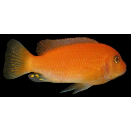 Metriaclima Estherae RED/BLUE