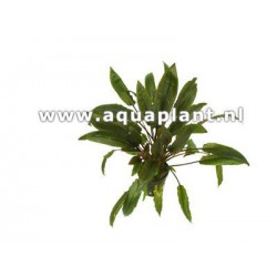Cryptocoryne species brown