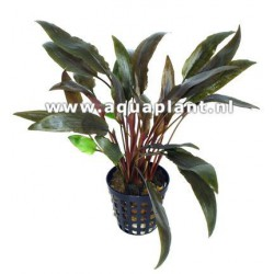 Cryptocoryne species red