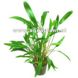Cryptocoryne nevellii