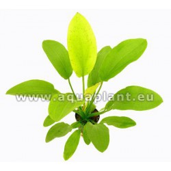 Echinodorus Yellow Sun - NEW