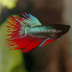 Betta Splendens Crowntail han/ kampfisk han