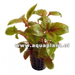 Alternanthera Bettzickiana red - Terrarieplante