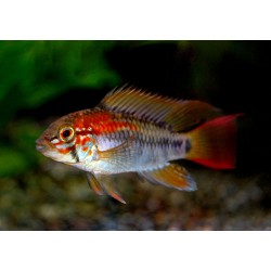 "Apistogramma macmasteri ""Red Shoulder"""
