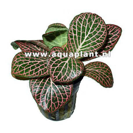 Fittonia red - Terrarieplante